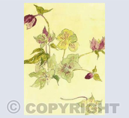 Hellebores at Denman - By Christine Hounslow