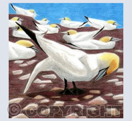 Gannet Civilisation: The Bowing