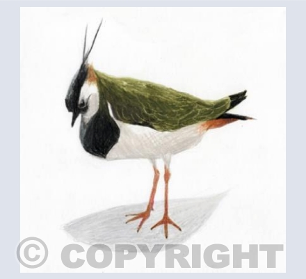 Thinking Lapwing Thoughts