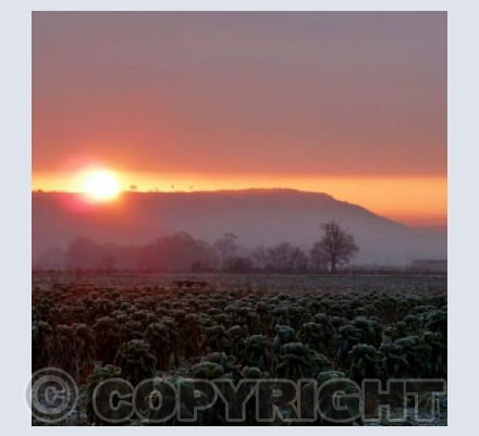 Frosty Sprouts at Sunrise - Bromham - Wiltshire