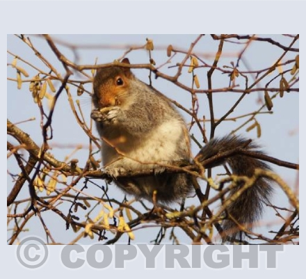 Munching Amongst The Catkins