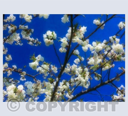 Blossom on blue