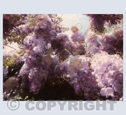 May wisteria