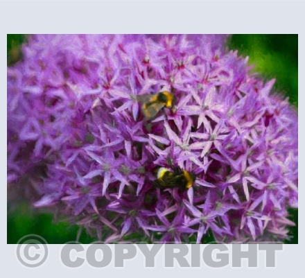 Bees in the alliums
