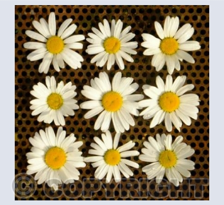 Iron and daisies