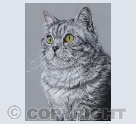 Mikado, Grey Tabby Cat