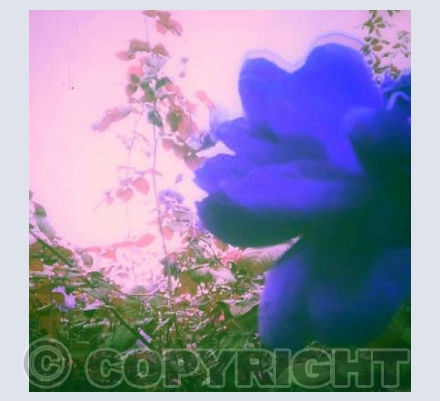 Lilac Blue Rose