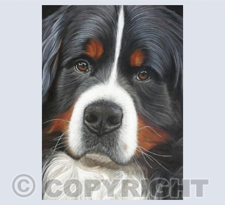 Bernese Mountain Dog - Watching
