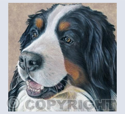 Bernese Mountain Dog - Smiling