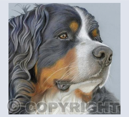 Bernese Mountain Dog - Relaxed & Regal