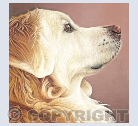 Golden Retriever - Golden Glow