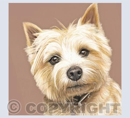 Cairn Terrier - Hello