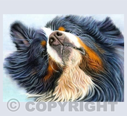 Bernese Mountain Dog - Shaking