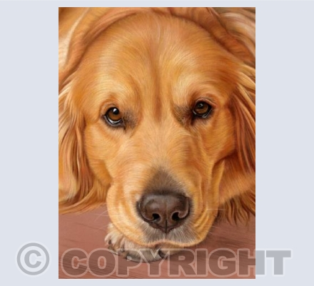 Golden Retriever - Sweet as Honey