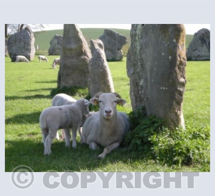 Avebury Sheep