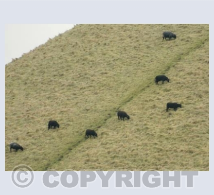 Silbury Sheep