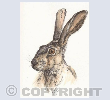 Pen and Wash Hare